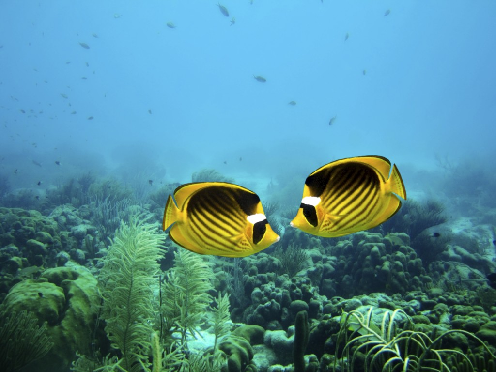 A couple of Racoon Butterfly fish on a coral reef on Bonaire, Caribbean Sea