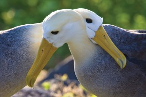 Honeymoonds, Adventures, Galápagos Islands, Travel, Albatrosses