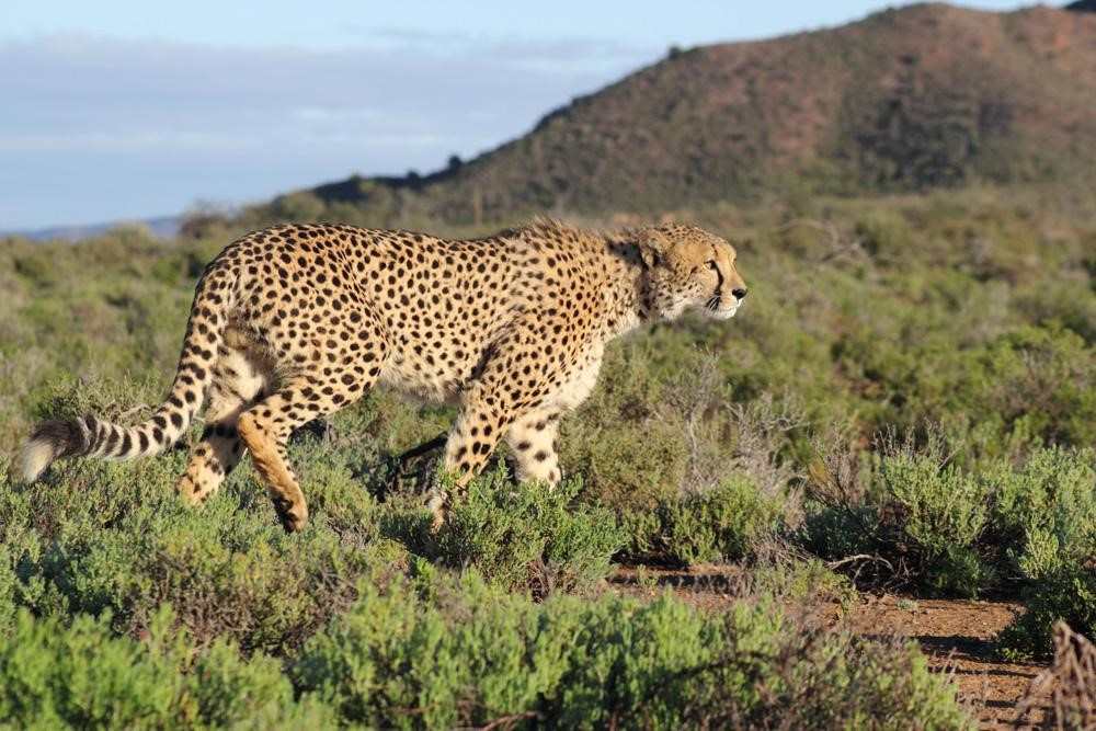 Leopards of South Africa